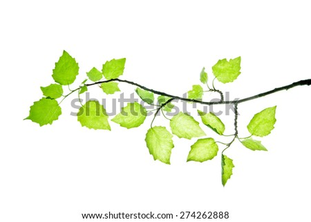 Twig of silverleaf poplar with translucent young leaves isolated on white  - stock photo