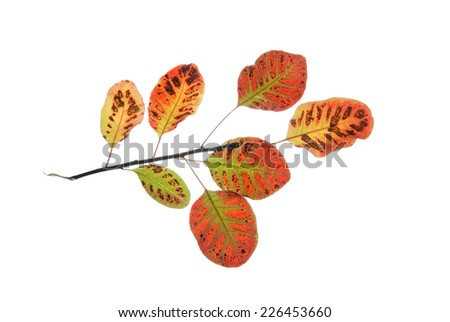 Twig of smoke tree with multicolored leaves isolated on white    - stock photo