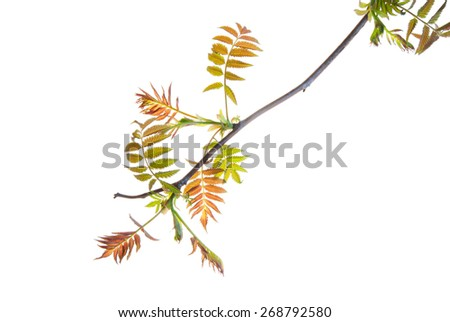 Twig of sumac with young spring leaves isolated on white - stock photo