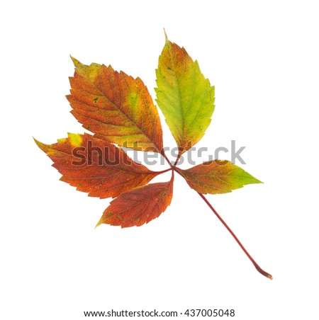 Twig of the wild grapes. Isolated on the white background. - stock photo