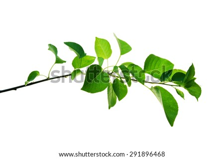 Twig of wild fruit tree with green leaves isolated on white background - stock photo
