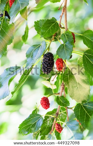 twig with black and red berries on Morus tree (black mulberry, blackberry, Morus nigra) close up in sunny day - stock photo