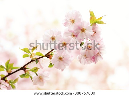 twig with cherry blooms on a sunny day in may - stock photo