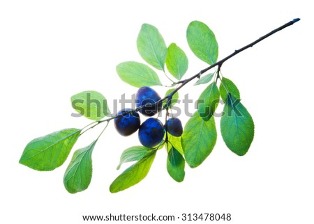 Twig with four plums and translucent leaves isolated on white    - stock photo