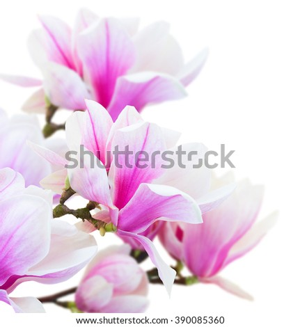 twig with fresh blooming  pink magnolia  blooming  flowers close up isolated on white background - stock photo