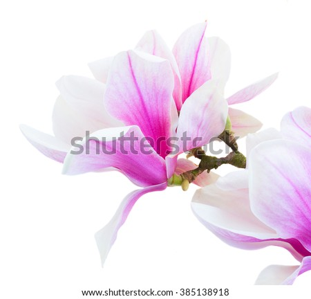 twig with fresh blooming  pink magnolia   flowers close up isolated on white background - stock photo