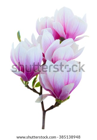 twig with fresh  pink magnolia  buds flowers isolated on white background - stock photo