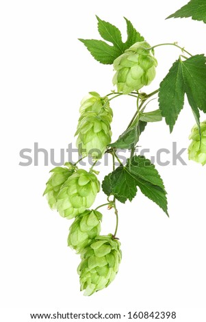 Twig with hop, isolated - stock photo