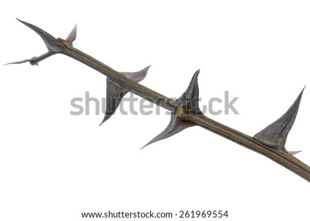Twig with thorns isolated on white background - stock photo