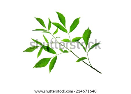 Twig with toothed green leaves isolated on white   - stock photo