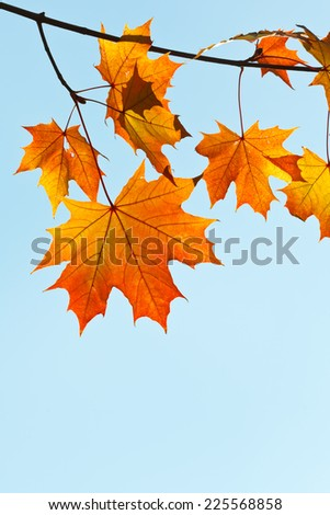 twig with yellow and orange leaves on blue sky background