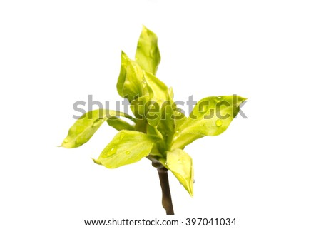 twig with young green leaves isolated on white - stock photo