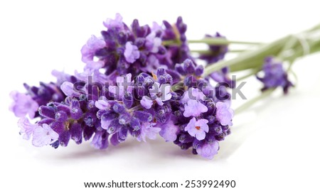 twigs lavender in closeup over white background 