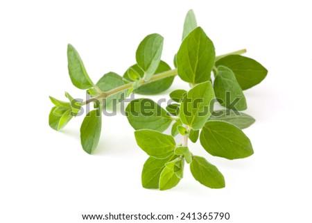 Twigs of oregano. Isolated on white background. - stock photo