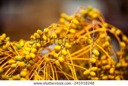 Twigs of ripe date with sweet fruits close up - selective focus - shallow deep of field - stock photo