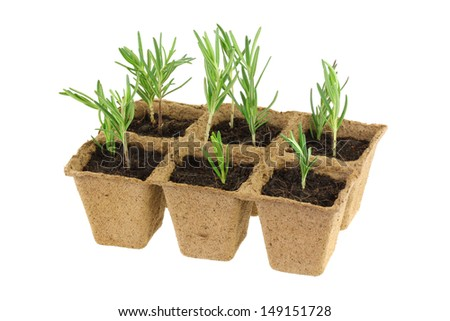 Twigs of rosemary and soil inside eco friendly plant pots made of Biodegradable fibers for growing sowing seeds, Isolated on white background