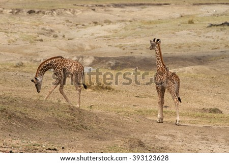 Twin baby giraffes (Giraffa camelopardalis), less than 2 weeks old (as both still have their umbilical cord attached - just visible between their legs) grazing in the Serengeti national park, Tanzania - stock photo