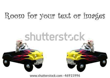 twin bichon frise dogs in their hot rod pedal cars  isolated on white with room for your text or images - stock photo