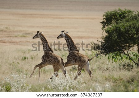 Twin giraffes running in Amboseli Kenya