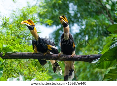 twin Hornbill - stock photo