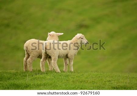 twin lambs - stock photo
