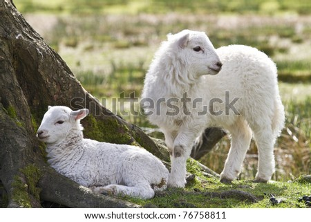 Twin lambs sheltering under a tree - stock photo