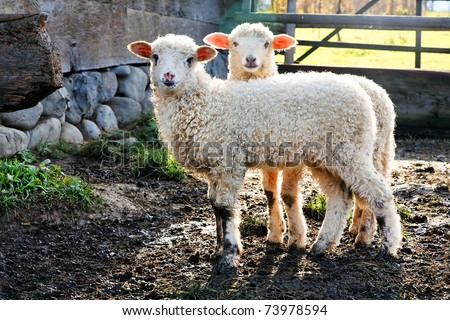 twin lambs watching the photographer - stock photo