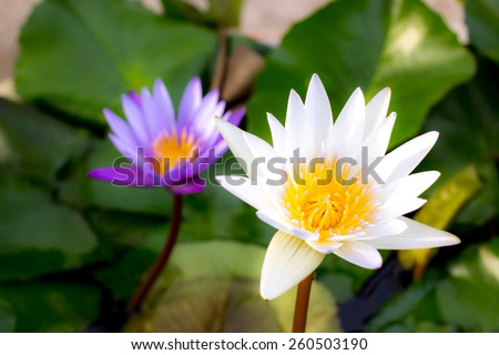 twin lotus flower blossom - stock photo