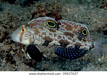 twin spot goby fish - stock photo