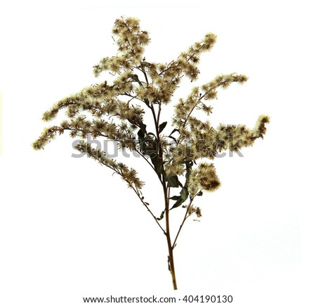 twisted grass curl shoot down umbrella seed twig cover wool isolated element white background scrapbook object autumn leaf dry branch goldenrod daisy family bears tall spike small yellow flower - stock photo