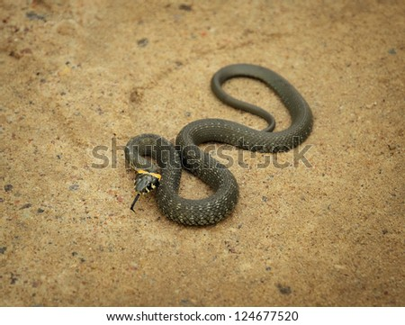 twisted grass snake lying on sand - stock photo
