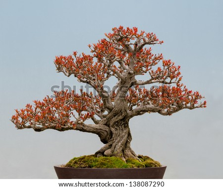 Twisted Pomegranate (Punica granatum) bonsai tree - stock photo