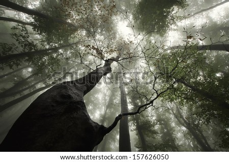 twisted tree in a forest with fog - stock photo
