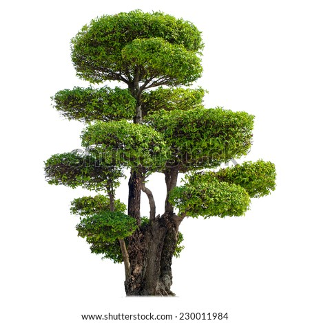 Twisted tree isolated on white background. Chinese garden bonsai plant   - stock photo