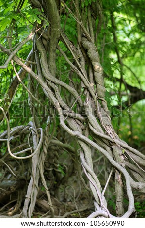twisted tropical tree roots in rain forest - stock photo