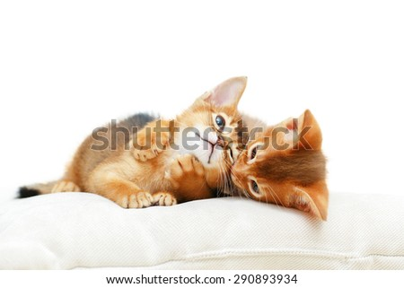 Two Abyssinian kittens playing. - stock photo