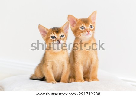 Two Abyssinian kittens playing.
