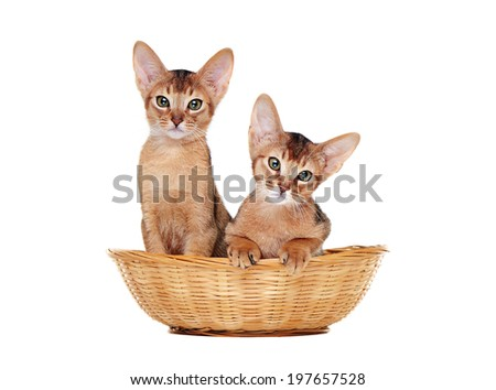 two abyssinian kitties sitting in a basket