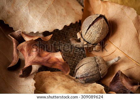 Two acorn on autumn leaves. Closeup.