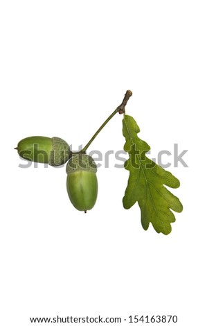 Two acorns and a leaf on a white background - stock photo