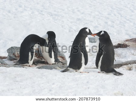 Two Adelie penguins and two gentoo penguin. - stock photo
