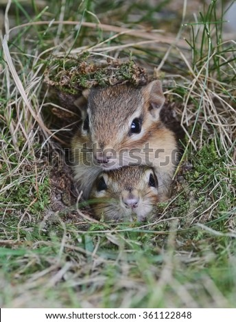 Two adorable baby chipmunks attempt to squeeze out of the burrow hole together - stock photo