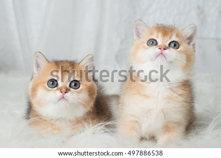 Two adorable British Shorthair kittens