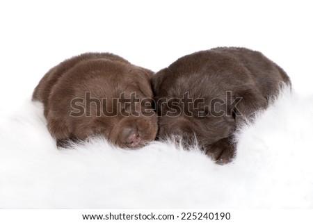 two adorable chocolate labrador puppies sleeping - stock photo