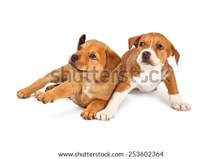 Two adorable eight week old mixed Shepherd breed puppy dogs with a scared expression - stock photo