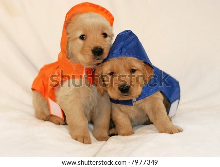 two adorable golden retriever puppies in raincoats