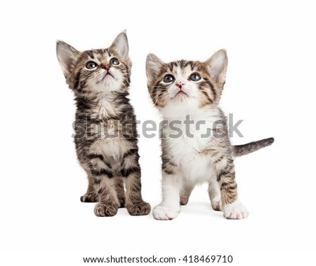 Two adorable little kittens standing over white background looking up
