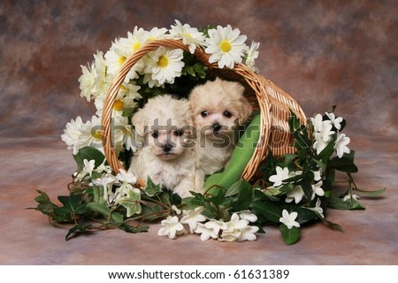 Two adorable little puppies in basket