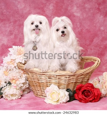 two adorable Maltese dogs in a basket with flowers
