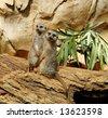two adorable meerkats - stock photo